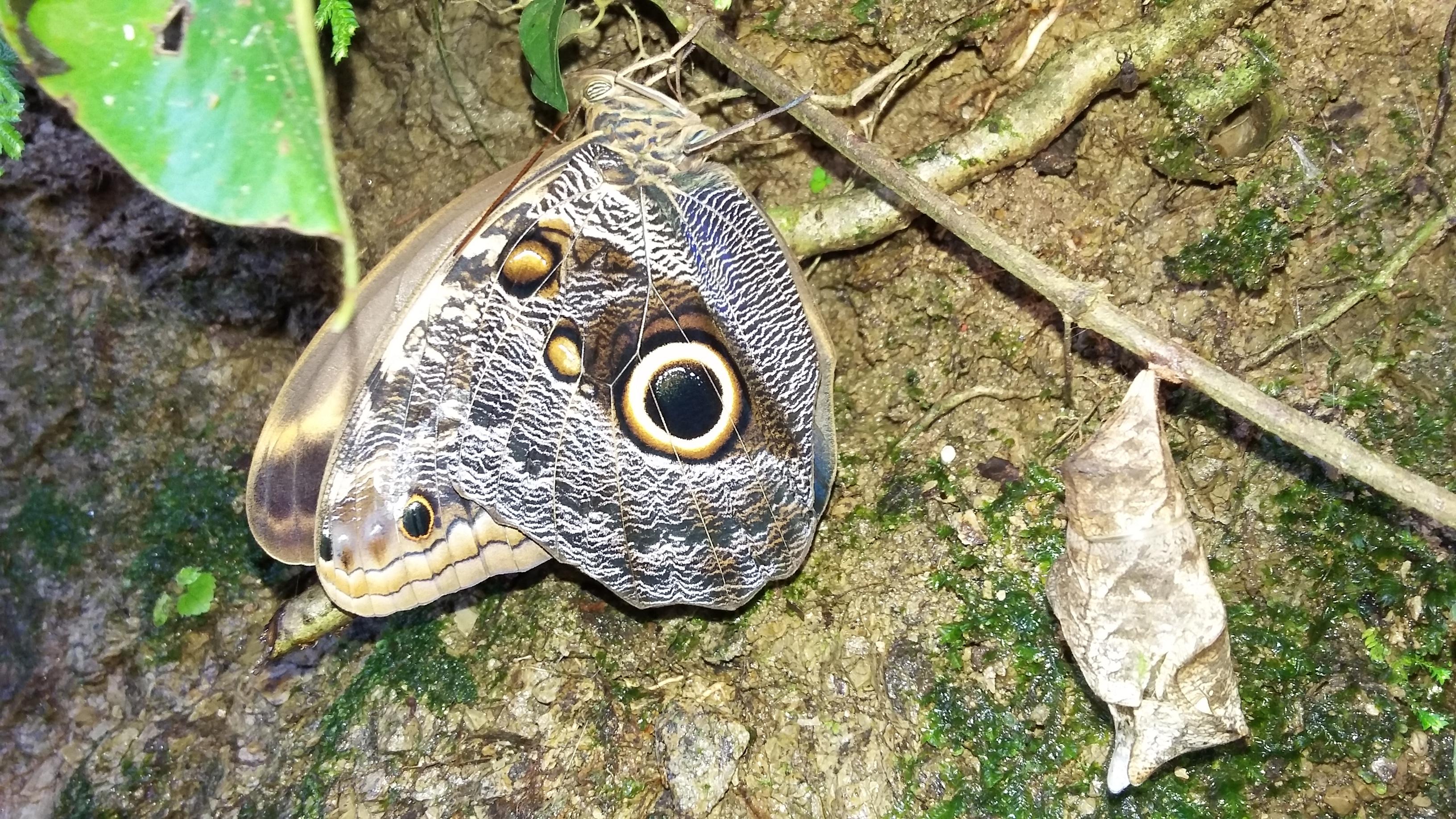 butterfly costa rica butterflies