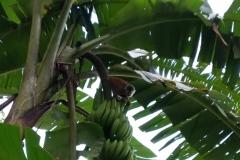 titi-monkey costa rica titi monkeys bananas
