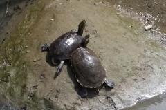 turtles costa rica turtle
