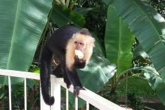 white-faced-capuchin-monkey costa rica white-faced capuchin monkeys